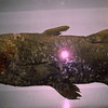 Prehistoric fish.  Supposed to be extinicted but thy keep finding them in Africa.
