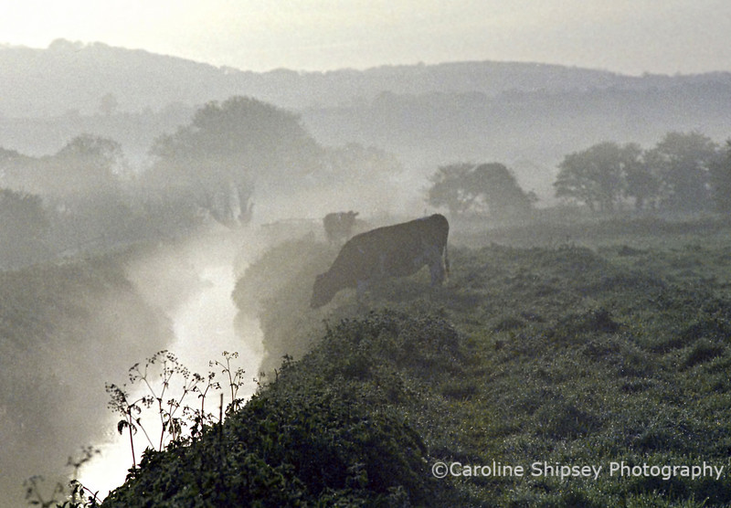 Cows in the mist on the Somerset Levels