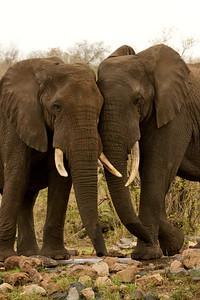Elephant Pair
