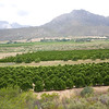 Orange Groves in the Citrusdal Valley, Western Cape, South Africa
