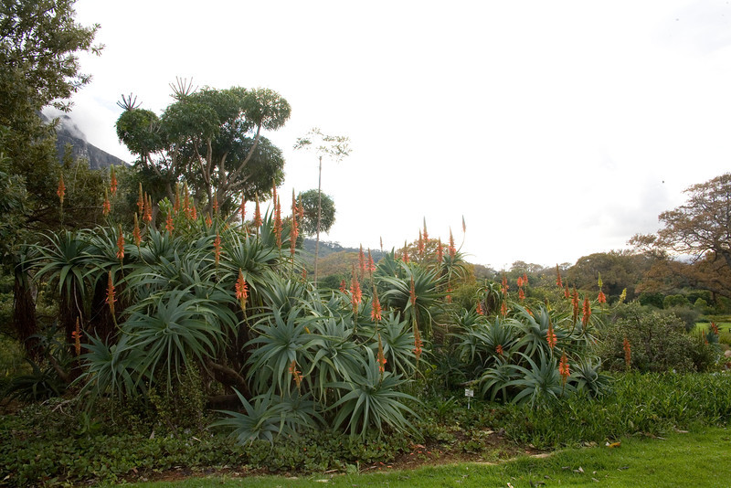 A cluster of aloes in the Kirstenbosch National Botanical Gardens, Cape Town