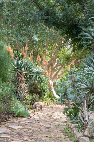 Aloes in the Kirstenbosch National Botanical Gardens, Cape Town