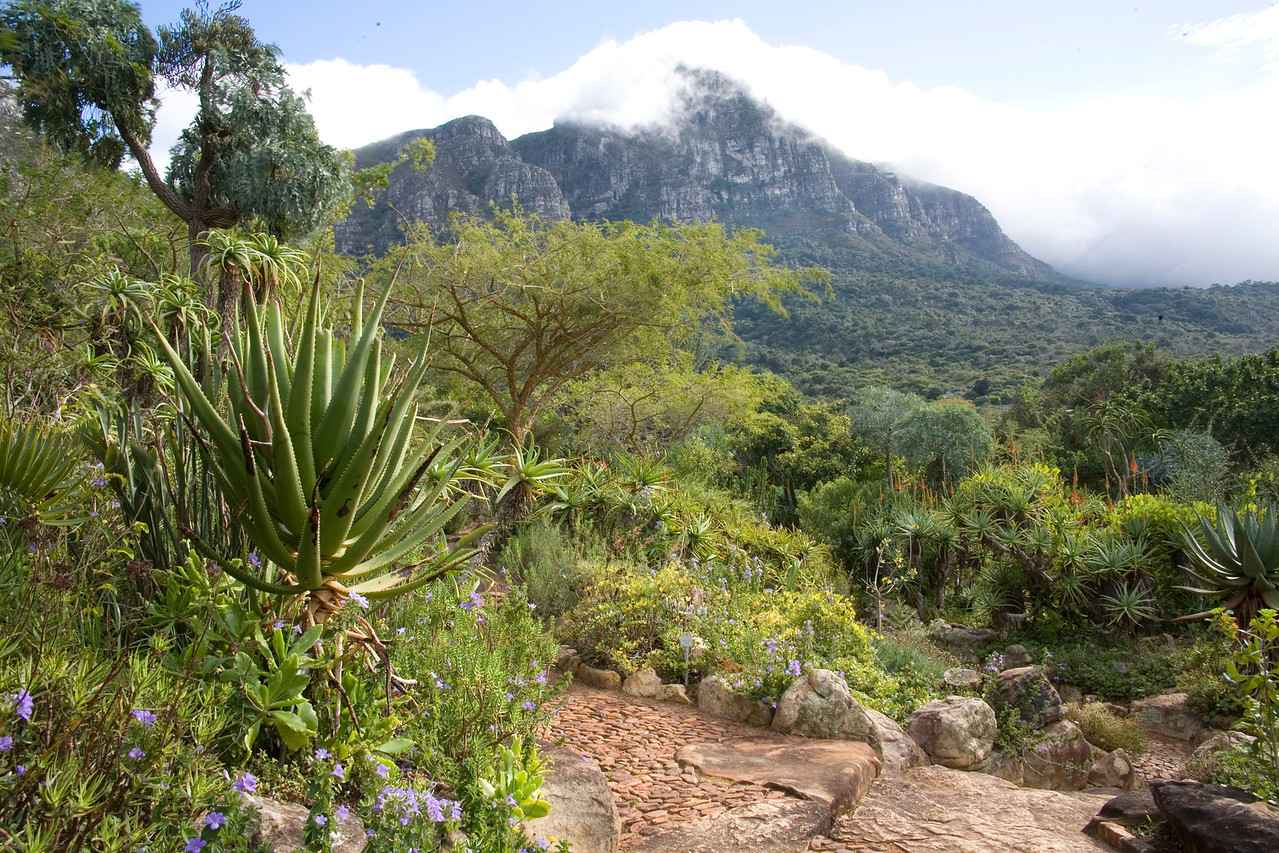View of Devil's Peak with cloud cover from the aloe garden at Kirstenbosch National Botanical Gardens, Cape Town
