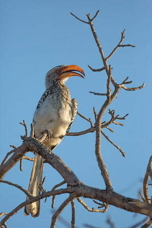 Hornbill at Sunset