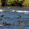 Madeira Parakeets