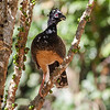 Bare-faced Curassow,