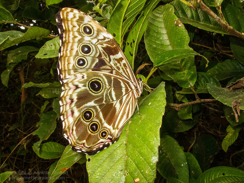 Butterfly - Morpho archiles