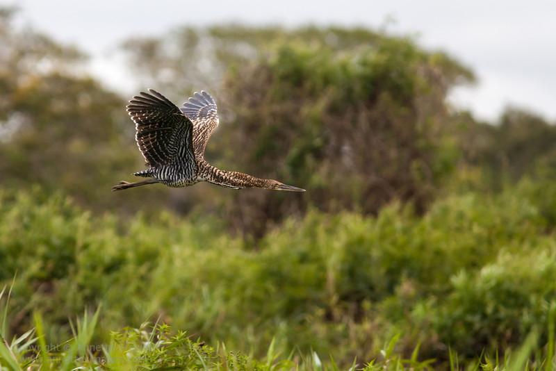 Rufescent Tiger Heron