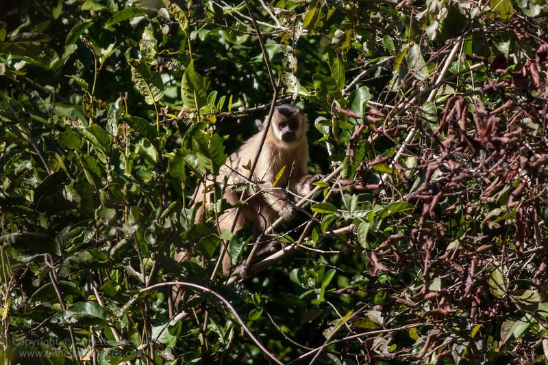 Black-striped tufted Capuchin