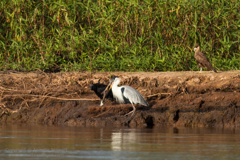 Fishing heron, and friends