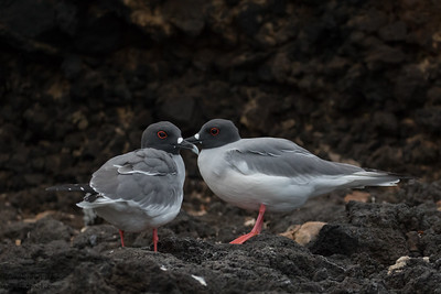 Swallow-tailed Gulls courting - Galapagos, Ecuador