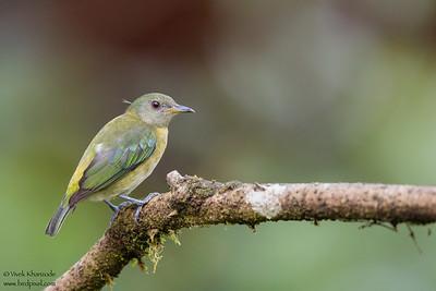 Golden-collared Honeycreeper - Mashpi, Ecuador