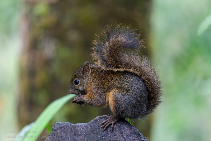 ed-tailed Squirrel