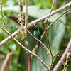 Purple-bibbed Whitetip,