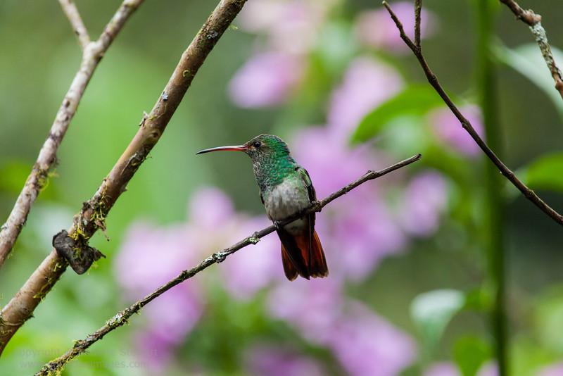 Rufous-tailed Hummingbird,