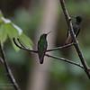 Buff-tailed Coronet,