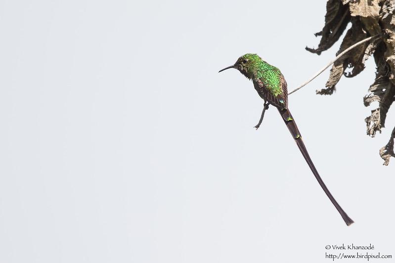 Black-tailed Trainbearer - Antisana Ecological Preserve, Ecuador