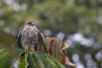 Broad-winged Hawk - San Isidro Lodge, Ecuador