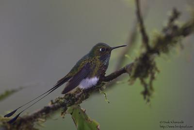 Booted Racket-tail - Tandayapa Valley, Ecuador
