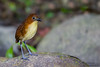 Yellow-breasted Antpitta - Angel Paz de las Aves - Nr. Mindo, Ecuador