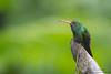 Rufous-tailed Hummingbird - Angel Paz de las Aves - Nr. Mindo, Ecuador
