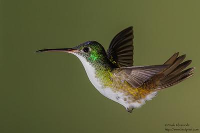 Andean Emerald - Tandayapa Valley, Ecuador