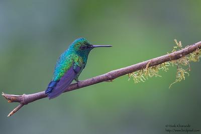 Western Emerald - Tandayapa Valley, Ecuador