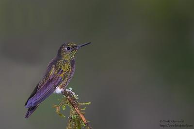 Buff-tailed Coronet - Tandayapa Valley, Ecuador