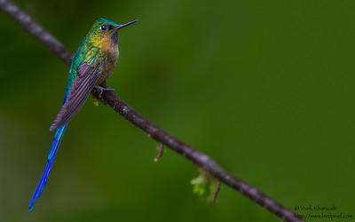 Violet-tailed Sylph - Male - Tandayapa Valley, Ecuador