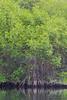 Mangroves of  Elizabeth Bay - Isla Isabela, Galapagos, Ecuador