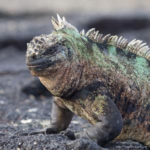 Marine Iguana - Punta Espinosa, Isla Fernandina, Galapagos, Ecuador