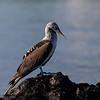 Blue-footed Booby,