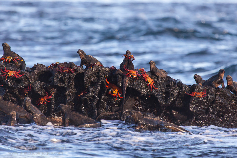 Marine Iguana; Sally Lightfoot crabs