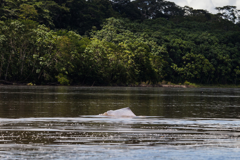 Boto - Pink river dolphin