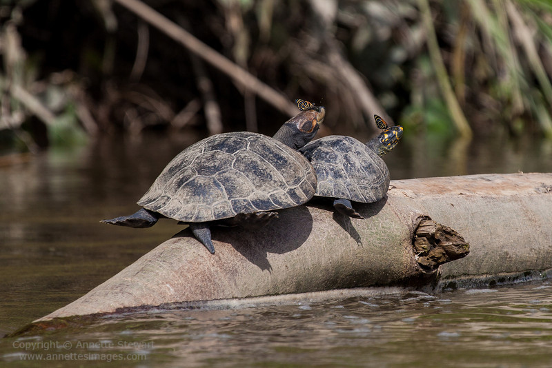 Yellow-spotted Amazon River Turtle, and butterflies