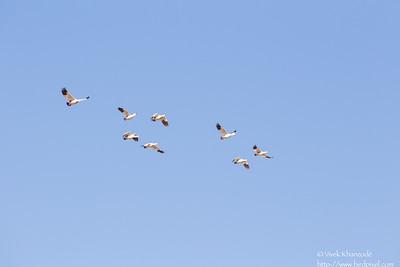 Andean Goose - Record - Cusco, Peru