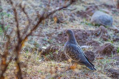 Spot-winged Pigeon - Record - Cusco - Peru