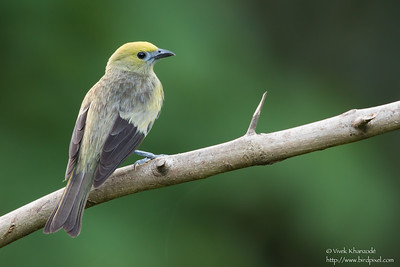 Palm Tanager - Asa Wright Nature Center, Trinidad