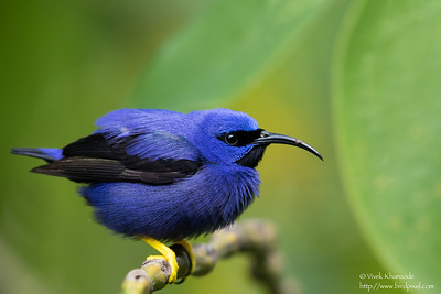 Purple Honeycreeper - Male - Asa Wright Nature Center, Trinidad