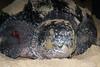 Leatherback turtle - Matura Beach, Trinidad