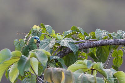 Orange-winged Parrot - Record - Asa Wright Nature Center, Trinidad