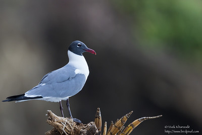 Laughing Gull - Little Tobago Island, Tobago