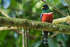 Collared Trogon - Male - Blanchiseusse Rd, Trinidad