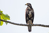 Common Black-Hawk - Juvenile - Nariva Swamp, Trinidad