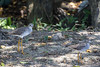 Greater Yellowlegs & Lesser Yellowlegs - Tobago