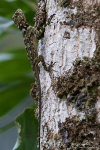 Unidentified Lizard - Blanchiseusse Rd, Trinidad