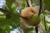 Silky Anteater - Caroni, Trinidad