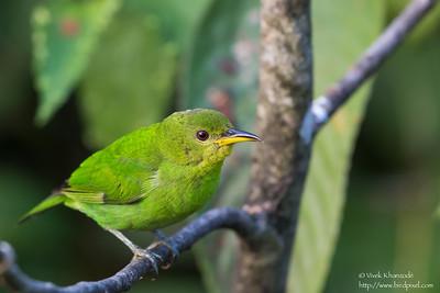 Green Honeycreeper - Female - Asa Wright Nature Center, Trinidad