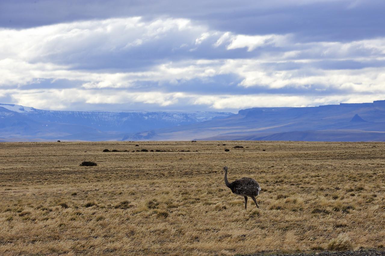 Rhea in Patagonia