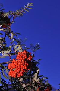 Berries of Patagonia